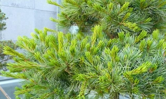 Taille pin à la japonaise
