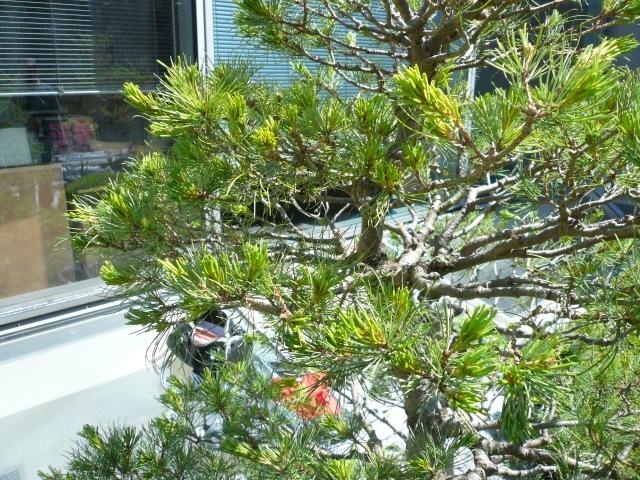 Taille pin à la japonaise Niwaki