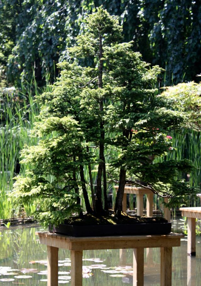 Bonsaïs aux jardins Albert Kahn  Jardins du Japon et … dailleurs