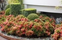 Paris XVI : Terrasse japonaise, buis et azalées taillés