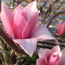Paris XVI : fleur de magnolia dans une terrasse japonaise