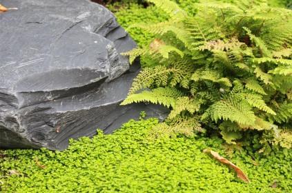 Pierre tortue expressive - Au premier plan, tapis d'helxine qui remplace la mousse des jardins japonais