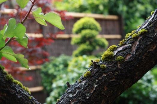 Jardin japonais rouge du vieil abricotier