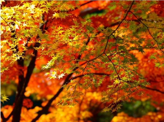 Erable en automne