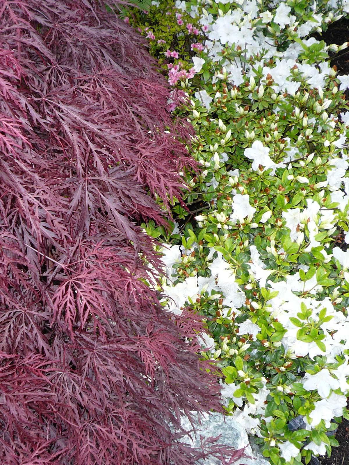 L rable dans le jardin japonais jardins du japon et d - Le jardin d erables ...